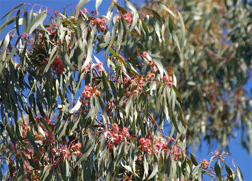Pink flowering gum balligart pink flowering yellow gum by geoff park mightylinksfo