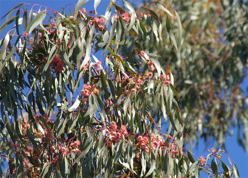 pink-flowering-yellow-gum by Geoff Park