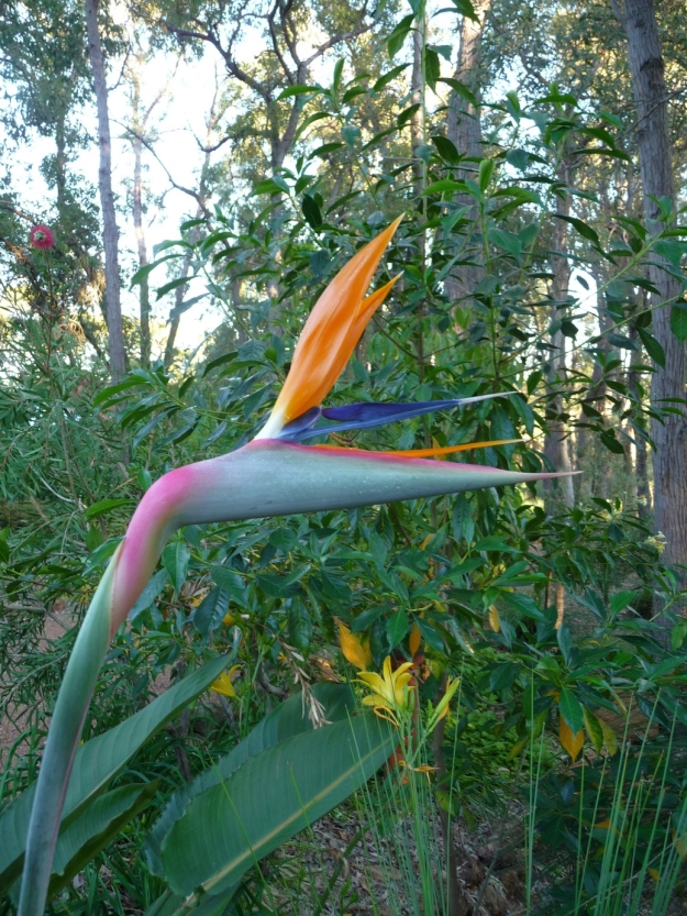 Bird Of Paradise (Strelitzia)