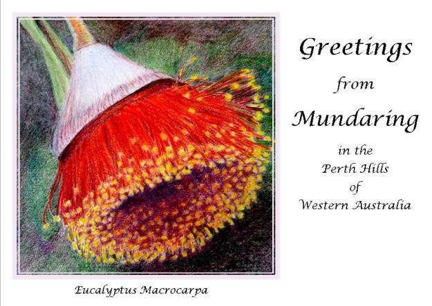 Eucalyptus Macrocarpa Postcard by Helen Lock