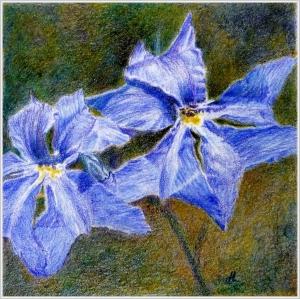 WA Rainbow - Indigo (Blue Leschenaultia) by Helen Lock
