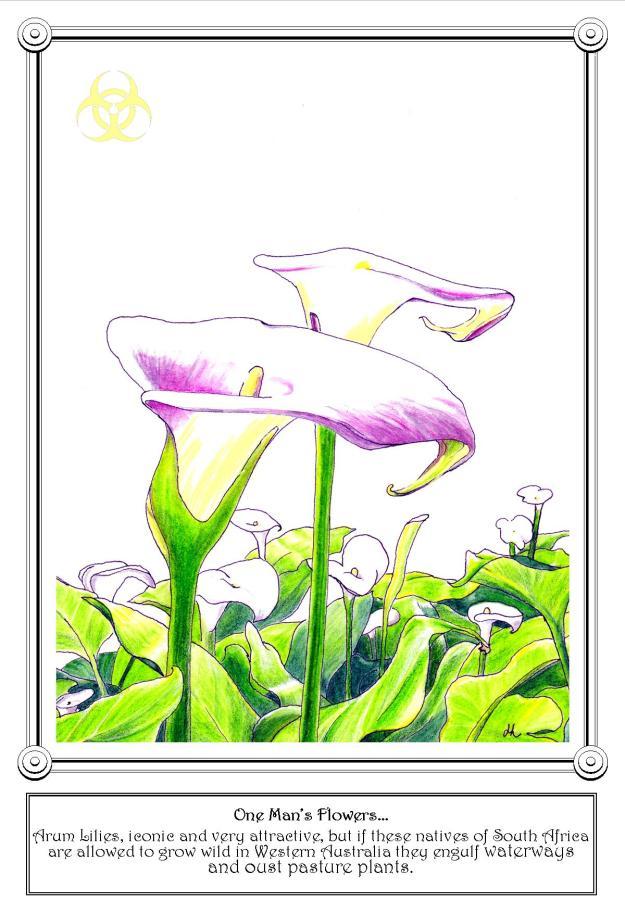 Arum Lilies - WA Weed